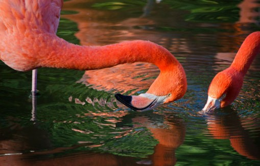 flamingo21-509x325 (1)